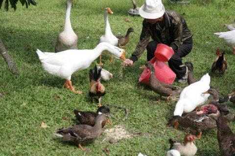 Jak przewozić żywe ptaki?